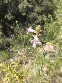 desert wildflower Red Rock Canyon
